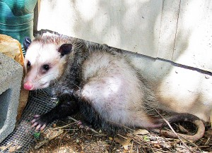 Virginia Opossum, Temple, Texas; 9 March 2010