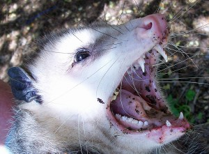Virginia Opossum, Temple TX, 9 March 2010: Mouth Agape showing Dentition