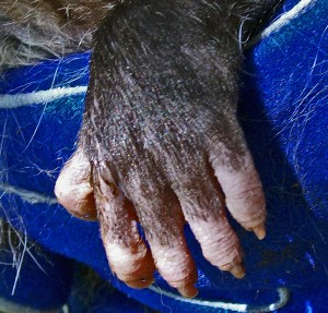 Virginia Opossum, Temple, Texas; Front Foot Dorsal View