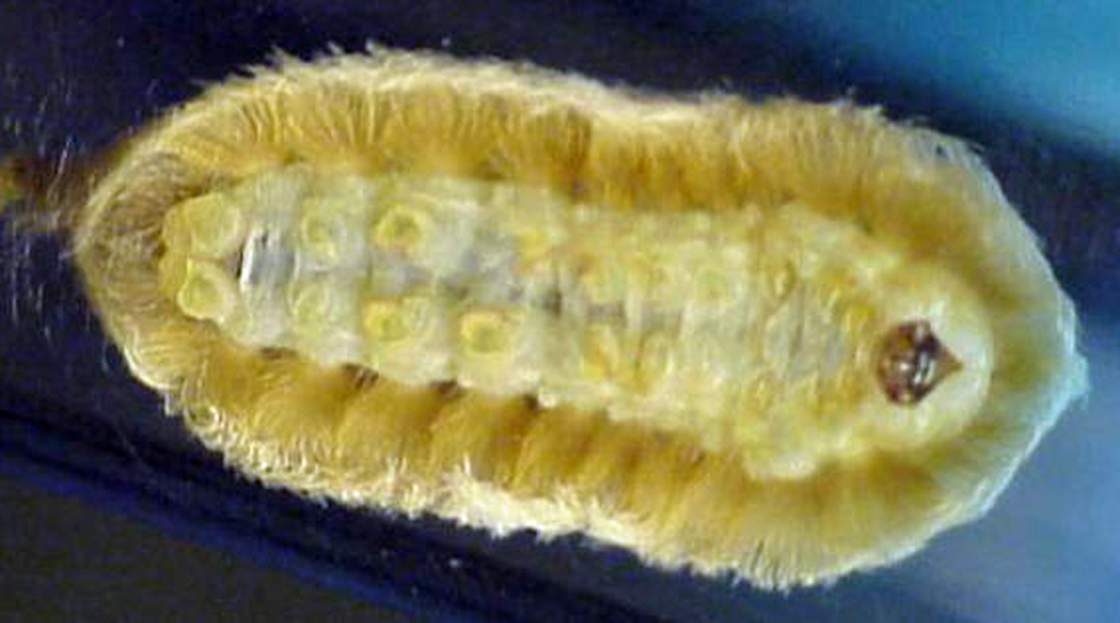 Asp Caterpillar Sting Treatment http://bugsinthenews.info/?p=476