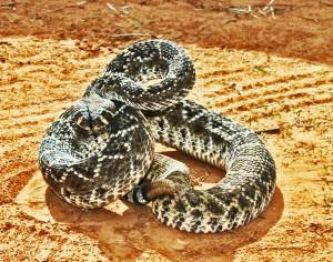 The Last Rattlesnake