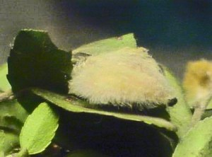 Puss Caterpillar on Yaupon Leaf