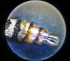 Western Diamond-backed Rattlesnake (Crotalus atrox), 040110, San Antonio, Texas--Rattles