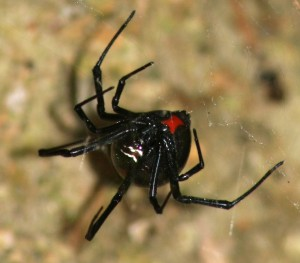 Western Black Widow (Latrodectus hesperus), female; Bridget W., Lake Belton near Moffat, TX--2010