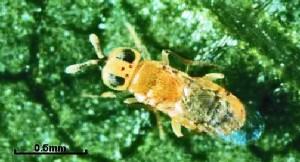 The Grape Mealybug Parasitoid (Pseudaphycus angelicus)