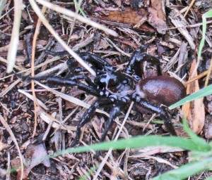 Trapdoor Spiders in North America