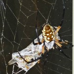081510 180109 Araneidae: yellow garden spider (Argiope aurantia); dorsal female, wrapping prey; Amy P., Ponder TX