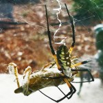 081510 183201 Araneidae: yellow garden spider (Argiope aurantia); dorsal female, wrapping prey; Amy P., Ponder TX