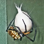 083110 072807 Araneidae: yellow garden spider (Argiope aurantia); female with egg sac; Amy P., Ponder TX