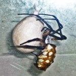 083110 072829 Araneidae: yellow garden spider (Argiope aurantia); female with egg sac; Amy P., Ponder TX