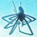 083110 073116 Araneidae: yellow garden spider (Argiope aurantia); dead male, dorsum; Amy P., Ponder TX