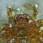 Sicariidae: Loxosceles reclusa 02 juvenile, LE3D Anterior head: SW Austin TX 78735 --- 6 May 2011