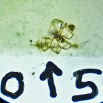 Sicariidae: Loxosceles reclusa 05 juvenile, habitus: SW Austin TX 78735 --- 6 May 2011