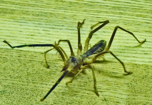 Solifugae: Camel Spider from Afghanistan, frontodorsolateral view --- Jason C., 21 July 2011