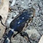 Juvenile Blotched Water Snake (Nerodia erythrogaster transversa); dorsal head: Michael Logozar, Round Rock, Texas --- 13 APR 2012