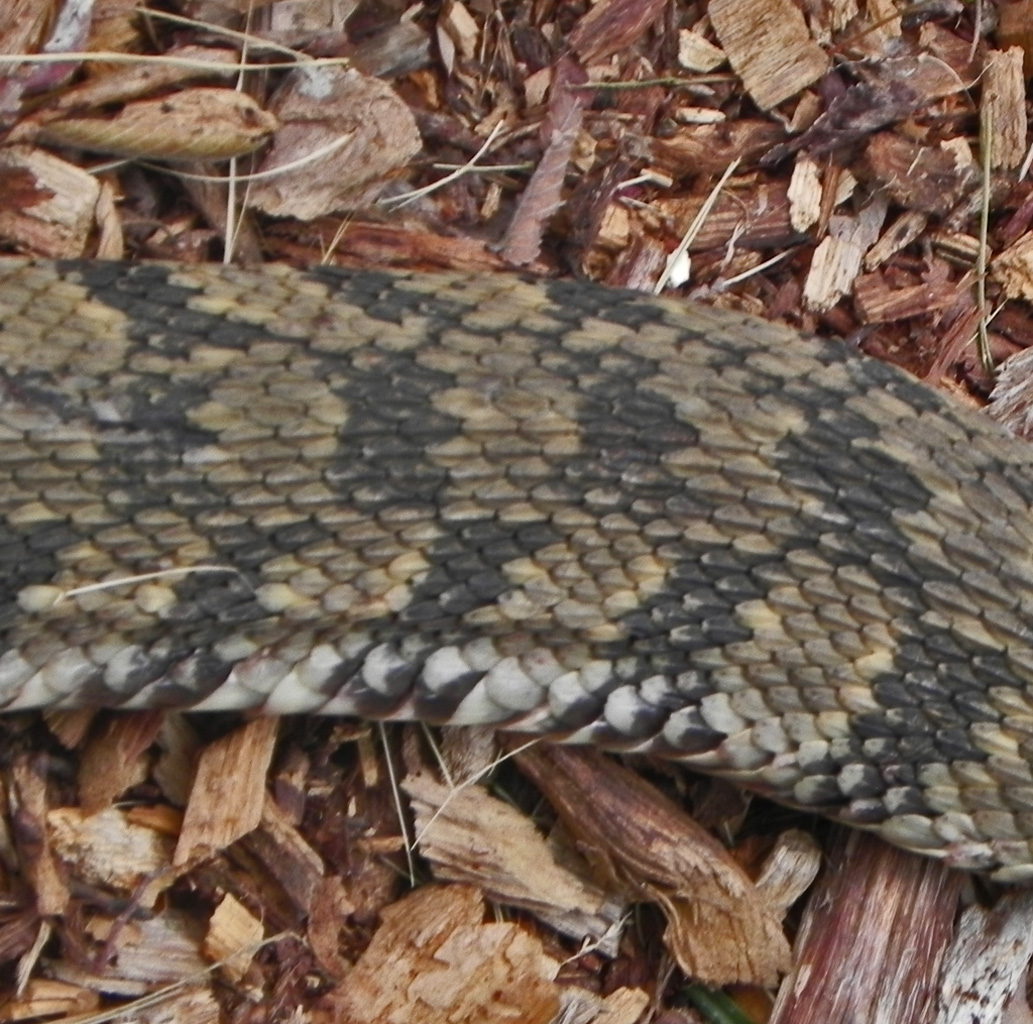 Pictures of Texas Water Snakes http://practicalpedal.com/photographcfo/backyard-snakes-texas.html