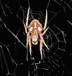 SOUTHERN ORB WEAVER (ERIOPHORA RAVILLA C L KOCH); DORSAL HABITUS: JOE & ELIZABETH LEBLANC, SOUTH OF HOUSTON, TX --- 11 APRIL 2009