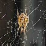 SOUTHERN ORB WEAVER (ERIOPHORA RAVILLA C L KOCH); VENTRAL HABITUS: JOE & ELIZABETH LEBLANC, SOUTH OF HOUSTON, TX --- 11 APRIL 2009