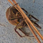 SOUTHERN ORB WEAVER (ERIOPHORA RAVILLA C L KOCH); LATEROVENTRAL HABITUS: LOUISE GIGUERE, ORANGE, TX --- 12 AUGUST 2009