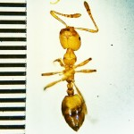 Pharaoh ant worker (Monomorium pharaonis L.); Round Rock, TX Med Ctr 1040; 26 Sep 2012; ventral body