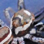 Salticidae: Bagheera male; Katie Baker, Blanco, TX; 26 NOV 2012 --- laterodorsoposterior carapace
