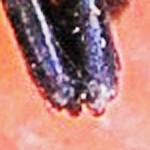 Salticidae: Bagheera male; Katie Baker, Blanco, TX; 26 NOV 2012 --- distal frontodorsal chelicerae