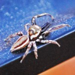Salticidae: Bagheera male; Katie Baker, Blanco, TX; 26 NOV 2012 --- laterodorsoposterior habitus