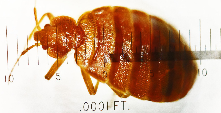 Mature bed bug