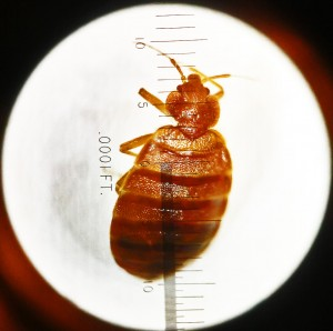 002. Mature Bed Bug, Dorsal View